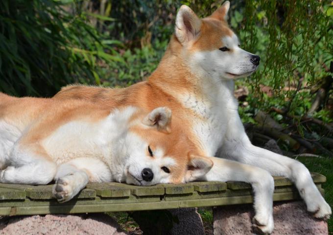 秋田犬の画像 p1_1